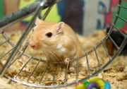 gerbil-wheel