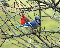 cardinals and blue jays