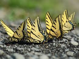 butterfly group
