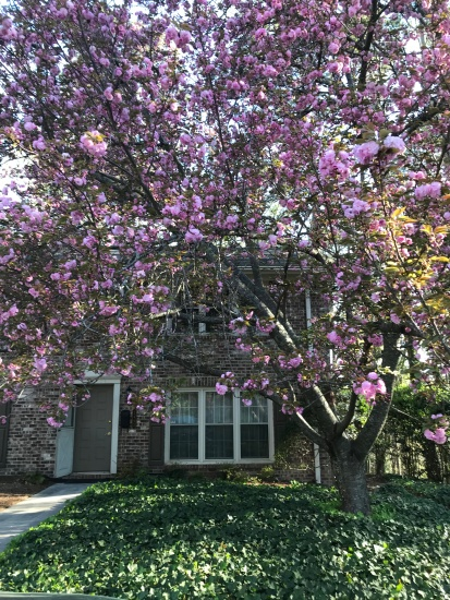 cherry tree front view