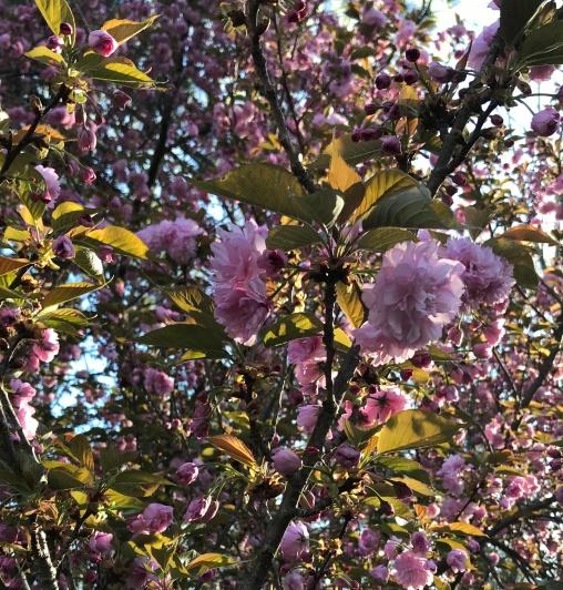 cherry tree up close