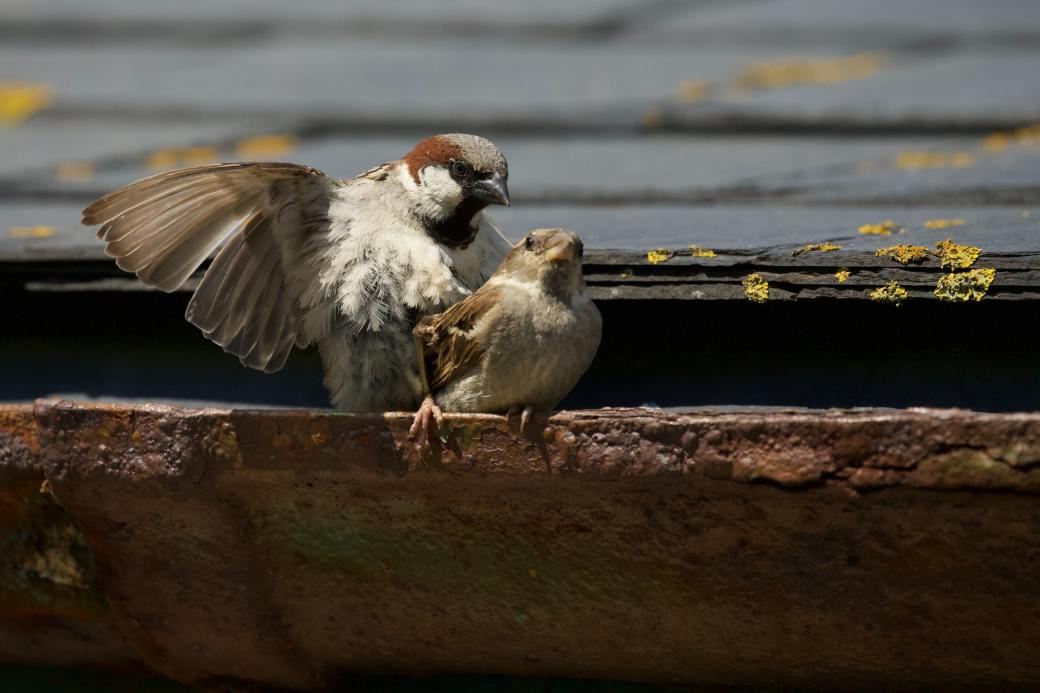 sparrow mom and chick