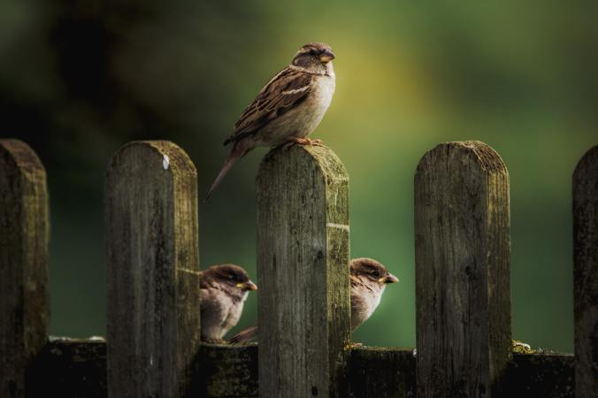 sparrows on fence